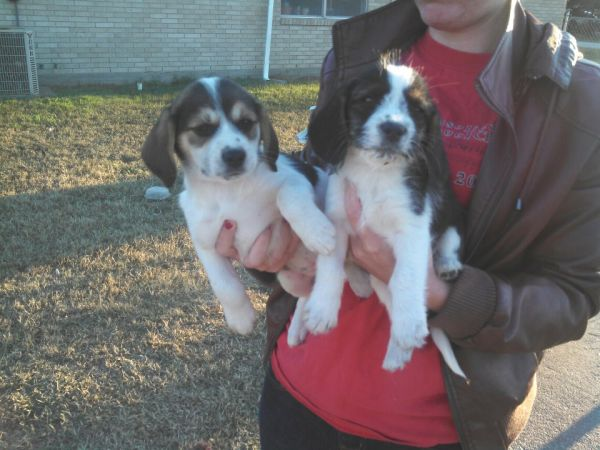 Free Puppies (IolaBryanCollege Station)