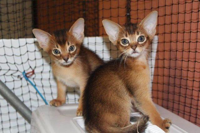 Abyssinian Kittens Fully registered and pedigreed for sale