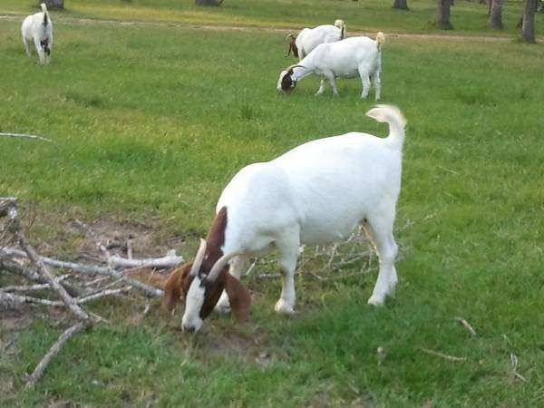 Goats for Sale - $300 (Bellville)