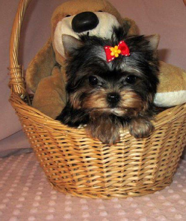 250  Sweet male and female yorkie puppies for adoption text or call 660 236-8446