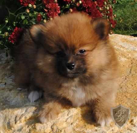 350  Attractive Teacup Pomeranian Puppies Avialable Text