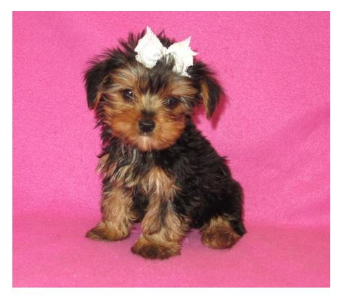390  Yorkie Puppies For sale   Yorkshire Terrier  Puppies for sale