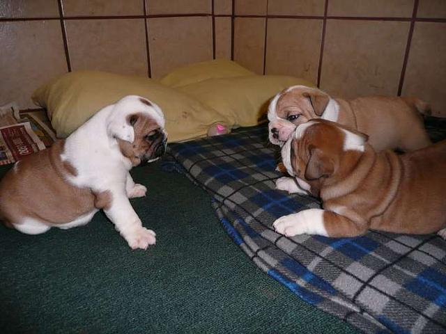 400  English Bulldog Puppies For Sale  Contact 214 612-3302