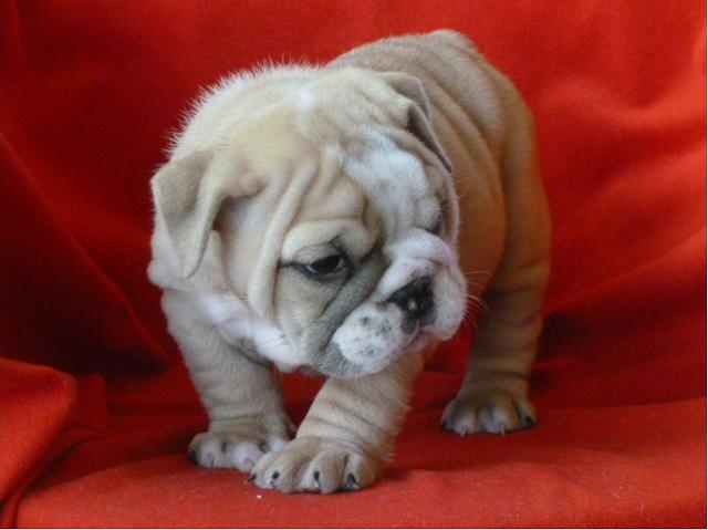 400  Well Socialized English Bulldog Puppy