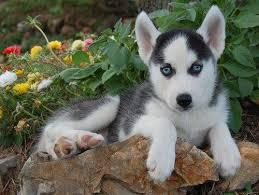 Adorable 1 yr-old male siberian husky dog