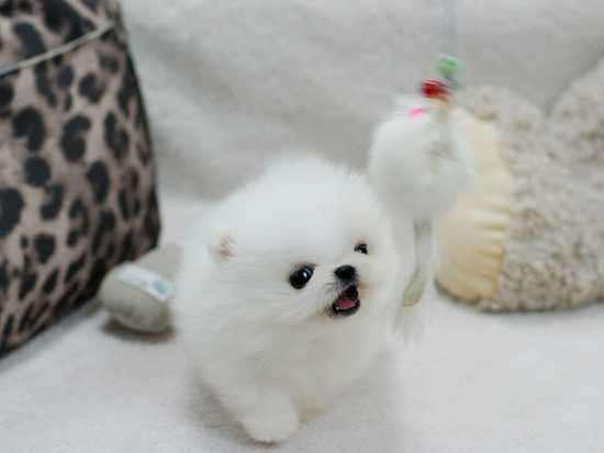 Amazing Micro Teacup Bear Face Pom Available  Contact via 704-750-2928