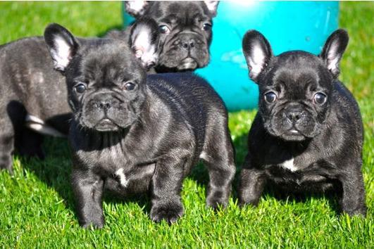Cute AKC French bulldogs puppies looking for  new home      TEXT 470 328-5277