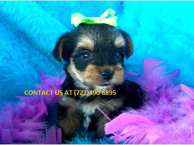 Cute male and female yorkshire terrier puppies