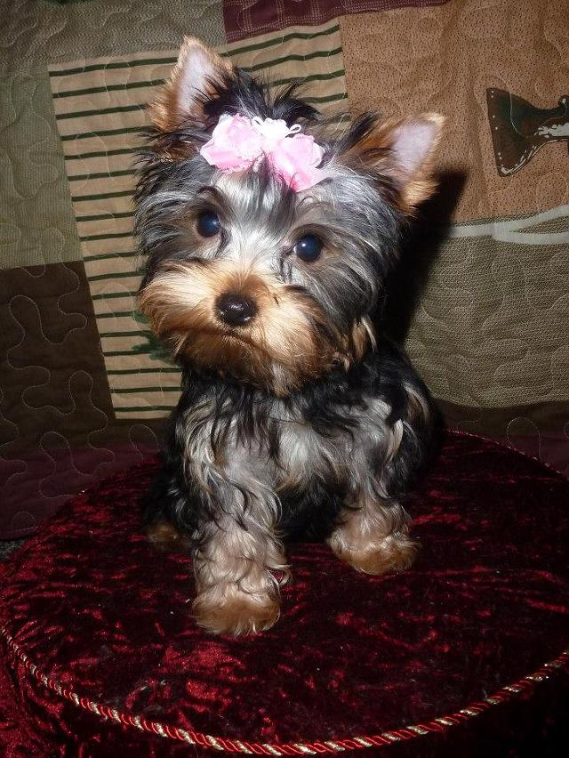 Henry Adorable ACA Yorkie Puppies