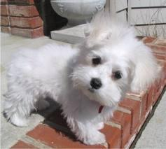 Lovely Male and Female Maltese Available 779 206-7226