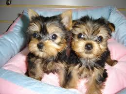 Please text 240 509-0014 to get this  little girl and Boy yorkie puppies available