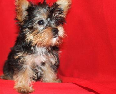 Potty trained Male and Female Yorkie Puppies available