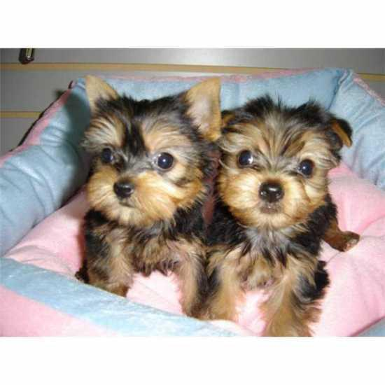Quality Tiny Yorkie Puppies for adoption 321 312-2210
