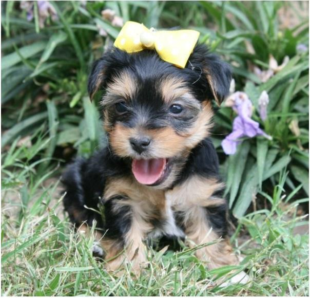 Teacup yorkie puppies ready for adoption