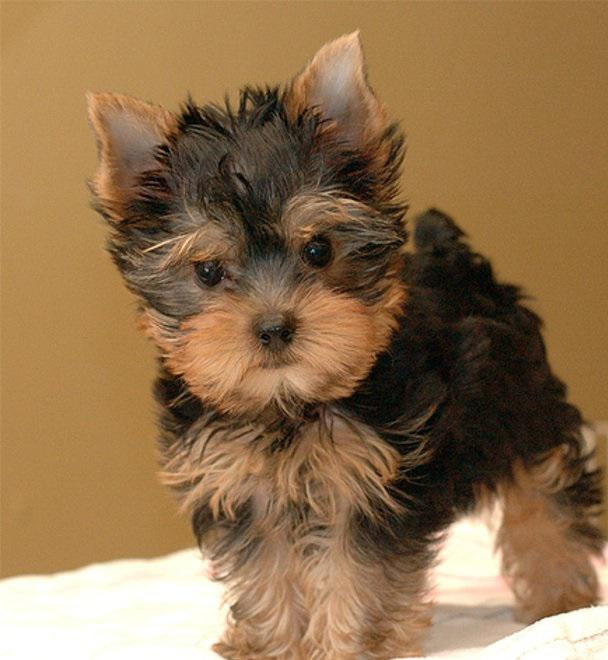 Two Teacup Yorkie Puppies Available Text 410 779-3031