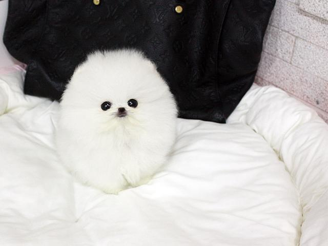 Cuddling Ice White Micro Teacup Female Pom Available702 323-3304