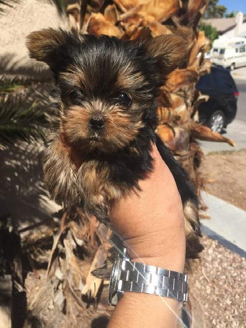 ngougfhgnhgngh Affectionate yorkie Puppies ready for good homes 267 982-4127