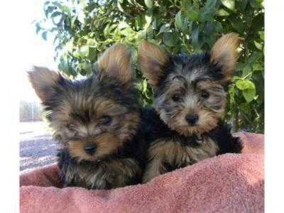 small size Y0RKSHIRE Terrier puppies ready to Go