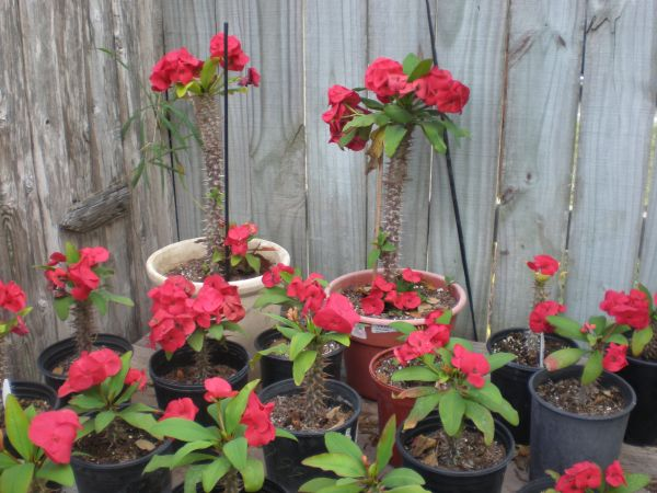 PLANTS - CROWN OF THORNS OTHERS - $10 (FLOUR BLUFF)