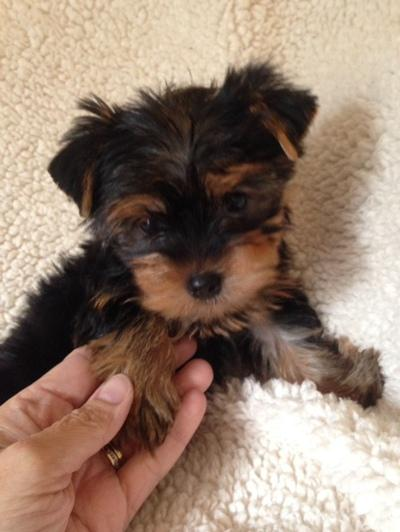 Free Lovely Teacup Yorkie Puppies still available Adoption