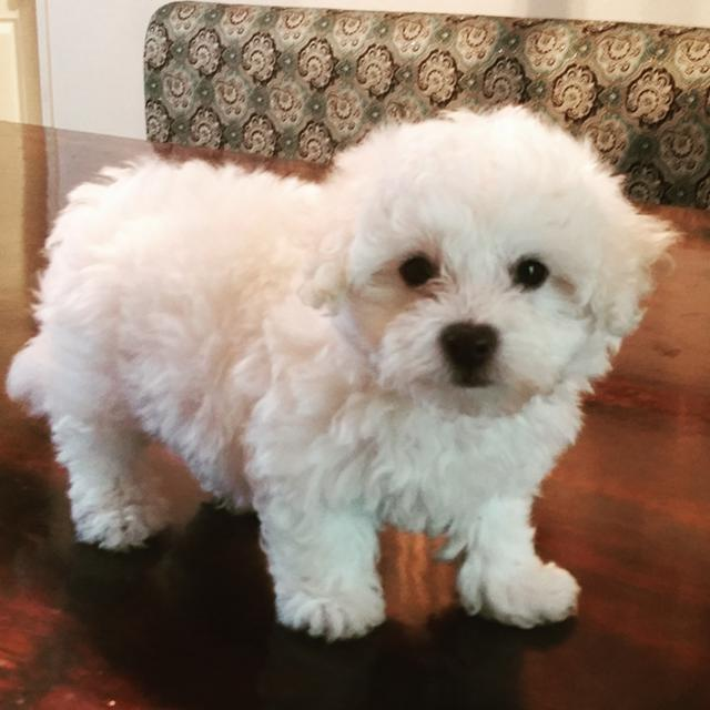 500  Female akc bichon puppy