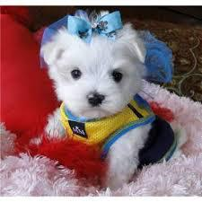 AKC Maltese puppies available Text 779 206-7226