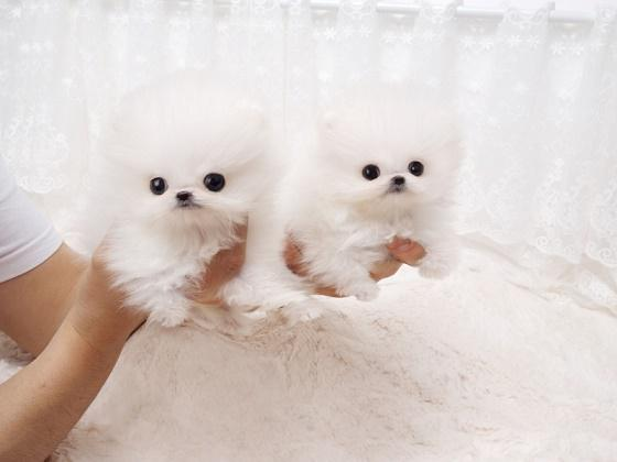 Tiniest male and female mini Pomeranian babies available 234 401-0092