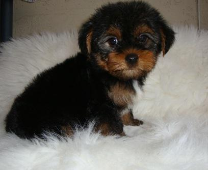 Well-mannered Yorkie Puppies in need of a home