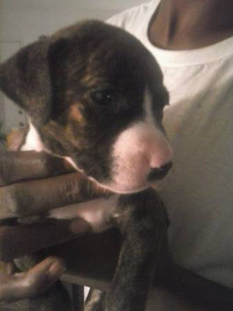 full blooded pit puppy