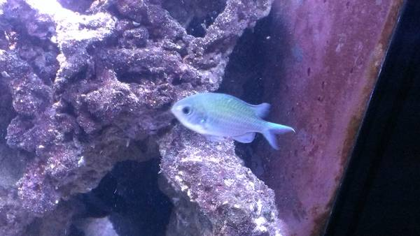 chromis salt water fish