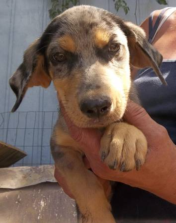 CatahoulaYellow LabRotty Puppies free (Quinlan, TX)