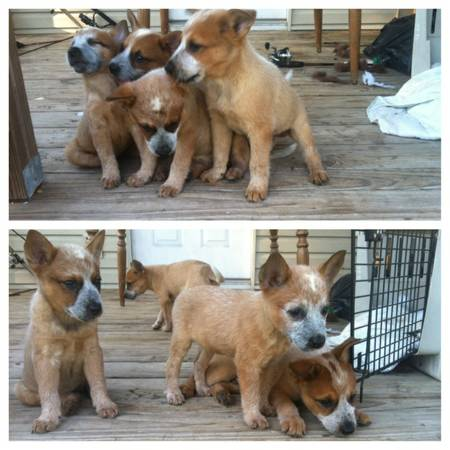 Red Heeler Puppies - $150 (Jacksonville)