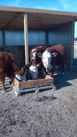 Hereford cows and bull Trade -   x0024 6000  Corsicana