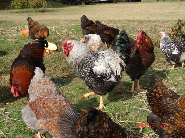 Very Rare Wyandotte Chicks and Fertile Hatching Eggs - $12 (North of Longview)