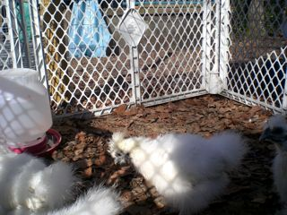 JAPANESE SILKIES - $35 (Chapel Hill Tyler)