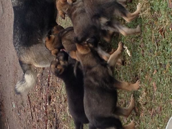 Full Blooded German Shepherd Puppies - $1 (Jacksonville)