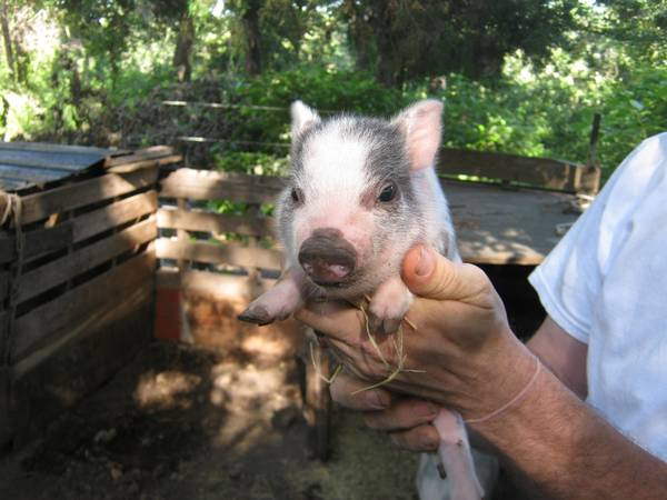 BABY MICRO POT BELLY PIGS - $200 (ATHENS)