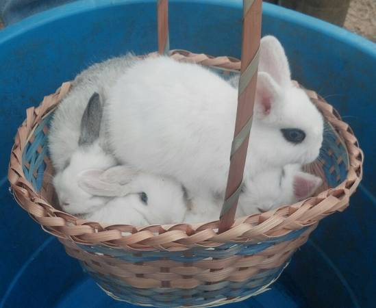 Blue or Brown Eyed Easter Bunnies for sale. Gorgeous - $15 (Gladewater )