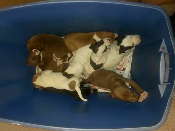 Pitbull puppies  longview