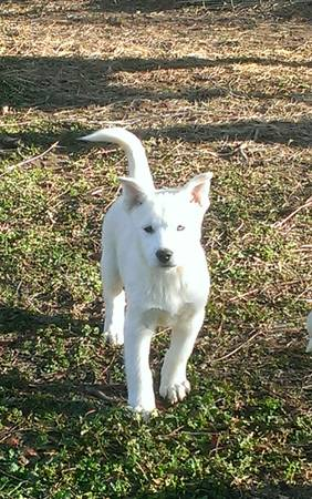 HUSKY PUPPY NEEDS HOME  EAST TEXAS