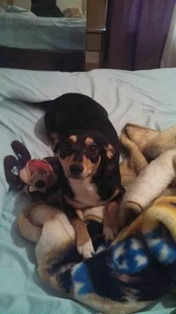 FREE Rat terrier chi mix  longview