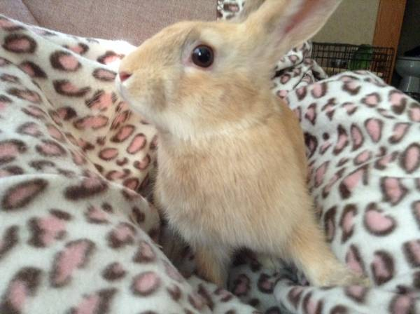 REDUCED SMALL RED RABBIT  Gilmer