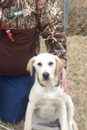 Missing White Yellow Lab  Alba  Tx