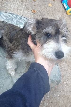Missing Schnauzer    LARGE REWARD  Bullard Whitehouse Troup
