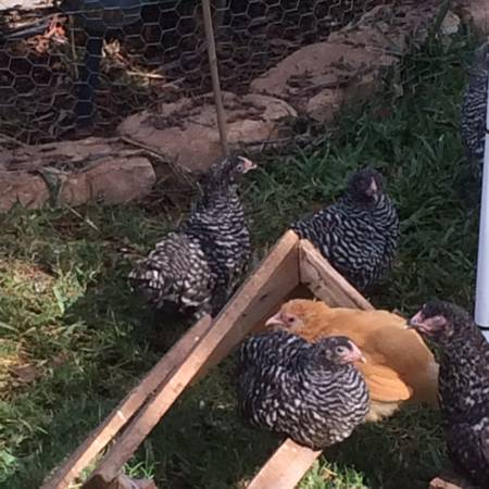 Chicks, Pullets, Roosters, Starting at - $5 (Dickisnon)