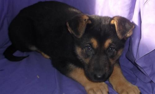 300  Protective german shepherd Puppies for sale