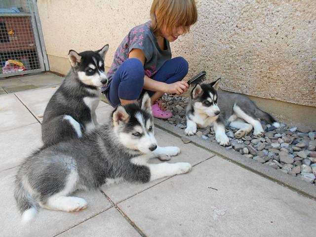AKC Registered Siberian Husky Puppies TEXT US AT 612 217-4208