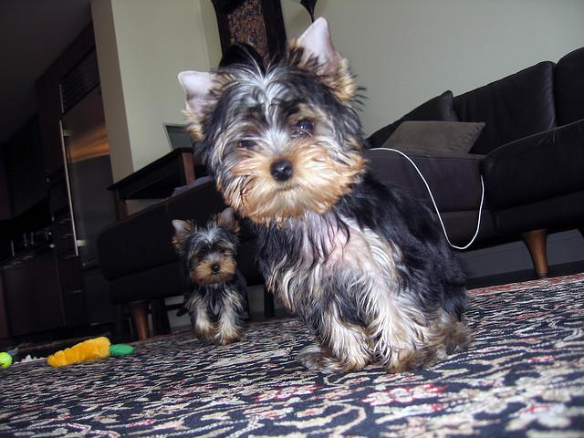Friendly Yorkie Puppy for Re-homing