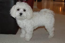 Purebred Maltese Puppies Available 779 206-7226