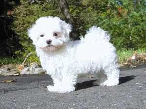 The Maltese is spirited  lively and playful